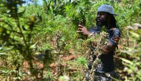 Jamaican marijuana tour
